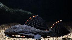 Leporacanthicus triactis L091, Three Beacon Pleco/Redfin Blackspot