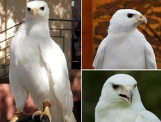 falcão albino