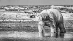 Polar Bear Photography Tour Photography Tours, Photography Workshops, Alaskan Brown Bear, Bear Photos, Polar Bear, Arctic, Safari, Trips, Ocean
