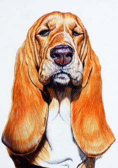 11 x 16 Colored Pencil on illustration Board  Original, Ready to frame  Basset Hound with an attitude  this is the drawing only, no frame or Mat  It