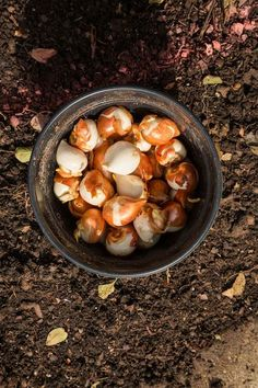 The promise of Spring ~ About 500,000 spring blooming bulbs, including Tulips and Daffodils, have been planted at the Dallas Arboretum and will be ready to bloom come spring and warmer weather.