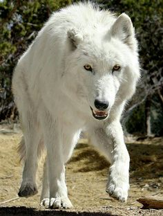 This one is also my Timber Wolf Malmute chuck miguel Beautiful Wolves, Animals Beautiful, Timber Wolf, Wolf Quotes, Wolf Pictures, Wild Wolf, Wolf Spirit, Wolf Love, Majestic Animals