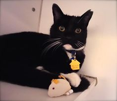 Meet Tuna, a Petfinder adoptable Domestic Short Hair-black and white Cat Adoption Center, New Friends, Tuna, Black Hair, Short Hair Styles, Meet, Cold, Black And White, Animals
