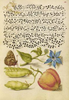 Joris Hoefnagel (illuminator)  [Flemish / Hungarian, 1542 - 1600], and Georg Bocskay (scribe)  [Hungarian, died 1575],                              Speckled Wood, Talewort, Garden Pea, and Lantern Plant