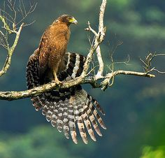 Wings spreading   大冠鷲 Crested Serpent Eagle   雲樵   Flickr
