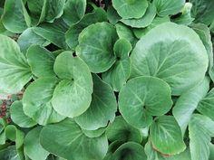 Hage 69 grader N: De gamle staudene fra oldemors hage Spinach, Planters, Vegetables, Vegetable Recipes, Plant, Window Boxes, Veggies, Pot Holders, Flower Planters
