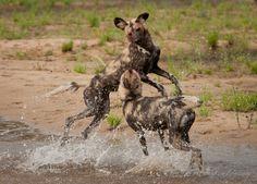 Hooligan dogs #sabisands #inyatisafari #safarivacation #wildlifephotography #AmazingAfrica