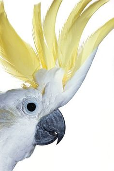 A portrait of a sulphur crested cockatoo. - Beautiful Feather Pictures