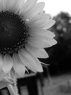 schwarz-weiße-Natur-Fotografie-Sonnenblumen-Bilder