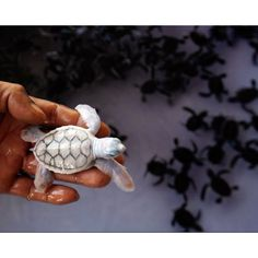 A Thai navy sailor holds an albino green turtle baby at a turtle nursery in Khram island, 30 km miles) from the busy tourist beach town of Pattaya, east of Bangkok June Special care is given to around green and hawksbill baby turtles Rare Animals, Cute Baby Animals, Animals And Pets, Exotic Animals, Cutest Animals, Turtle Nursery, Turtle Love, Tiny Turtle, Green Turtle