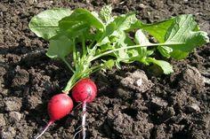 retek Vegetables, Food, Gardening, Essen, Lawn And Garden, Vegetable Recipes, Meals, Yemek, Veggies