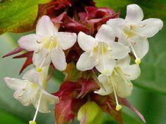 Fleurs de Leycesteria formosa Floraison début automne