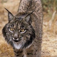 One of the most endangered cats on the planet - the Iberian Lynx - read more on www.zoovue.com #zoo #wildlife #protection #conservation #lynx http://ift.tt/2a84eS0 - http://ift.tt/1HQJd81