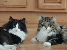 Dimitri and Milo http://www.mainecoonguide.com/male-vs-female-maine-coons/