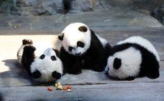 Panda triplets Dec 2014