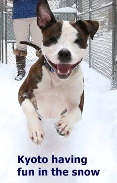 Manhattan Center KYOTO – A1060618 ***SAFER : EXPERIENCED HOME*** FEMALE, WHITE / BR BRINDLE, AMER BULLDOG / AM PIT BULL TER, 2 yrs STRAY – ONHOLDHERE, HOLD FOR ID Reason STRAY Intake condition EXAM REQ Intake Date 12/15/2015 http://nycdogs.urgentpodr.org/kyoto-a1060618/