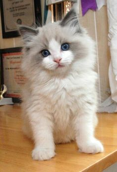 #Cute #Kitten #Picture. ( Such a beautiful little Fuzz ball, with pretty blue eyes, and that white and gray mask he has leading to darker ears, I love it!!)