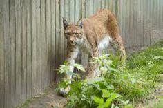 ilves jaloittelemassa ähtärin eläintarhassa
