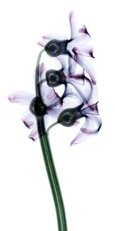 x ray flowers downloadable | Ray Flower by coopr on deviantART
