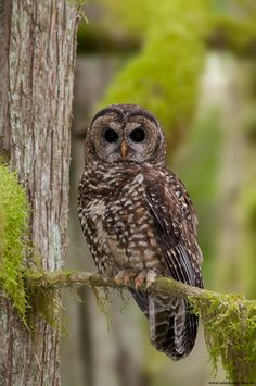 Northern Spotted Owl- Last Stand - One of the last remaining Northern Spotted Owls in the wild of British Columbia - by Stuart Clarke