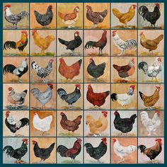 36 Rare Breed Chickens Limited edition print. by Artfortyeight, £65.00
