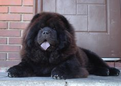 Chow Dog Breed, Chow Chow Dogs, Puppy Breeds, Cute Little Animals, Cute Funny Animals, Cute Puppies, Cute Dogs, Pet Friendly Holidays, Dog Muzzle
