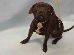 MURDERED 5/24/16 Brooklyn Center JAMIE – A1073279 **LEGAL HOLD 05/11/16** MALE, BLACK / WHITE, PIT BULL MIX, 3 yrs STRAY – STRAY WAIT, HOLD FOR LEGAL Reason OWNER HOSP Intake condition EXAM REQ Intake Date05/11/2016, From NY 11234, DueOut Date05/14/2016, I came in with Group/Litter #K16-056924 Urgent Pets on Death Row, Inc