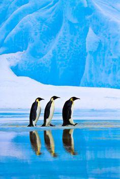 March of the Emperor Penguin #penguins #birds #wildlife