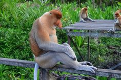 #animal #long nosed monkey #monkey #nature #primate #proboscis monkey #wildlife