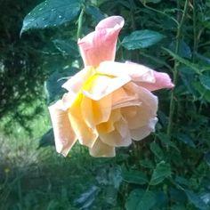 Balkon Pełen Róż: Róża herbatnia - zabytek znaleziony w rodzinnym og...