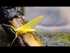 Tying a CDC Yellow May Dun by Davie McPhail - YouTube