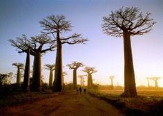 Madagascar has awesome trees.