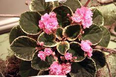 Cajun's Roses Anyone - Belinda Thibodeaux, (Cajun's series).