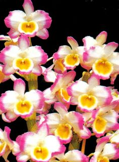 Yamamoto Dendrobium Nobile | Dendrobium nobile Peace 'President'