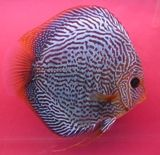 Snakeskin Red Discus www.fishkeeper.co.uk #tropicalfish