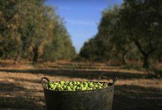 LA ACEITUNA Una canasta de aceitunas se sienta en un campo de olivos en La Rinconada, cerca de la capital andaluza de Sevilla 24 de septiembre de 2012. (Foto por Marcelo del Pozo / Reuters)