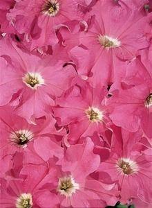 Pase Seeds - Petunia Aladdin Pink Annual Seeds, $3.49 (http://www.paseseeds.com/petunia-aladdin-pink-annual-seeds/)