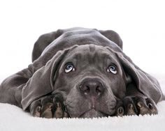 nothing cuter than a weimaraner puppy Love My Dog, Puppy Love, Baby Dogs, Pet Dogs, Dog Cat, Baby Baby, Beautiful Dogs, Animals Beautiful, Cute Puppies