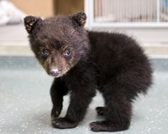 'Rescued' in Oregon, bear cub finds new home in Wisconsin (Carli Davidson/Oregon Zoo)
