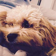 Cooper Tibetan Terrier/Toy Poodle cross | Pawshake Morningside