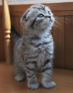 Fancy - Scottish Fold Kitten via Home
