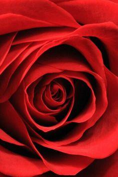Blood Red Rose~