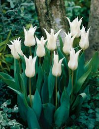 Tulip Tres Chic H&S: x Position: full sun or part shade Flowers: April and May