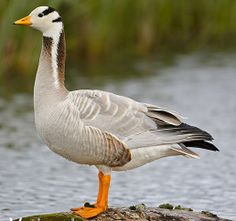 Bar-headed Goose (Anser indicus) breeds in Central Asia in large colonies near mountain lakes, winters in South Asia and India