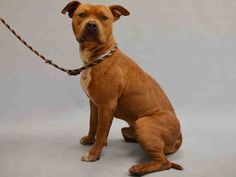 Manhattan Center BANE – A1057463 MALE, BROWN / WHITE, AM PIT BULL TER MIX, 1 yr OWNER SUR – ONHOLDHERE, HOLD FOR DOH-V Reason PETS CONFL Intake condition INJ MINOR Intake Date 11/10/2015, From NY 10031, DueOut Date ,