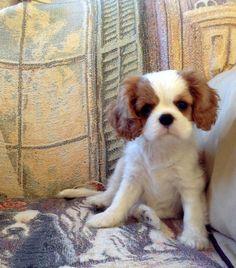 Cavalier King Charles Spaniel Puppy (blenheim)