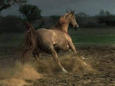 Arabian mare. Wojtek Kwiatkowski