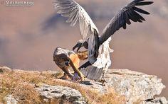 Photo of Jackal and Vulture Fight at Giants Castle, Drakensberg, Ukhahlamba Drakensberg Park