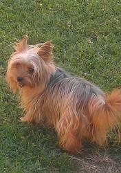 Adopt Honey Pretty Gal On Yorkie Dogs Yorkshire Terrier Dog Yorkie