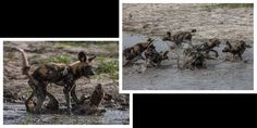 african wild dogs playing in water African Wild Dog, Okavango Delta, History Images, Wild Dogs, African Animals, Natural History, Safari, Wildlife, Awesome